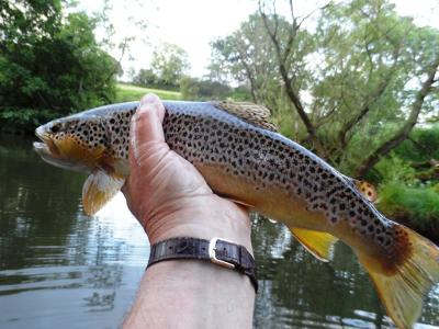 A good wild brown from the Monnow