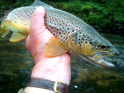 A good August trout from the Pwll-y-Faedda beat on the upper Wye