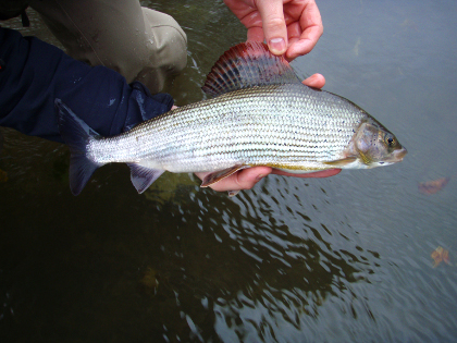 A grayling from the Lugg. Photo: Adam Fisher