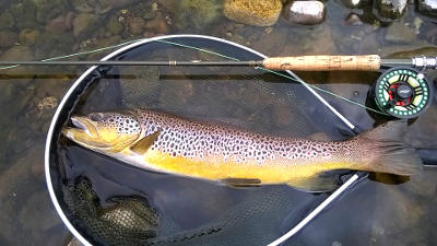 One of the large wild browns caught from the upper Taff recently. Photo: Daniel Popp