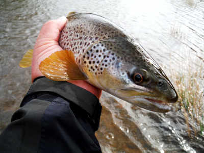 Another good April brown from the Usk, this one from the river near Brecon.