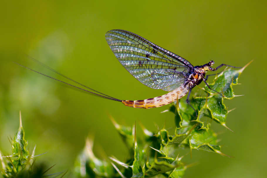 Ephemera danica, one of the three mayfly species in the UK, hopefully coming soon to a river near you!