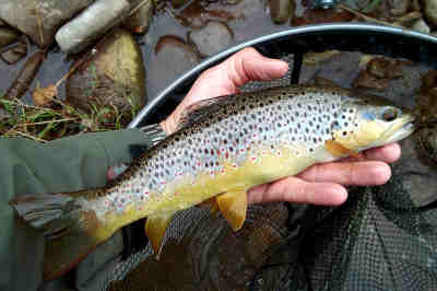 A nice wild brown from the Lower Stanton beat of the Honddu (Monnow), caught late in Augist. Photo: Ceri Thomas
