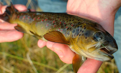 A Bugeilyn trout. These fish are well known for their aggressive takes and good fighting qualities. Photo: Adam Fisher