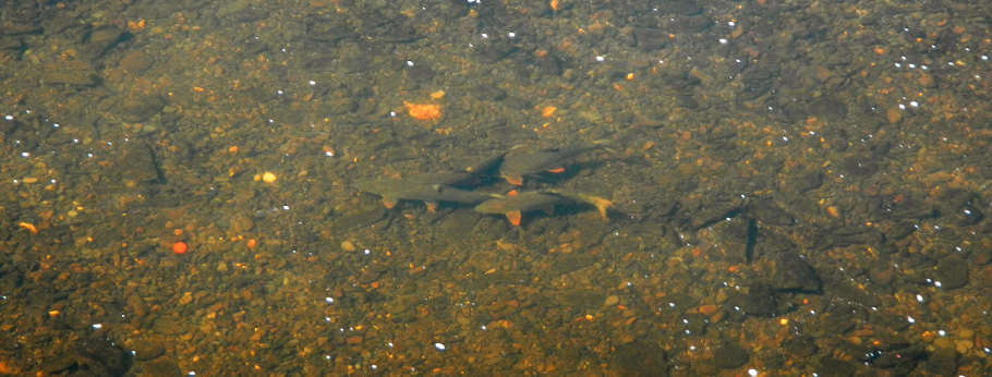 Most of the Wye barbel will have finished spawning by June 16th