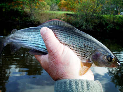A Monnow grayling displaying its distinctive blue sheen and below, a smaller one from the Dore, one of the Monnow's tributaries