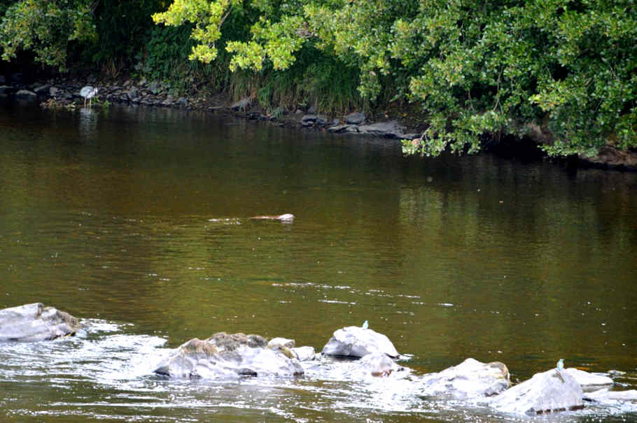 'Predators pool' on the upper Wye at Pwll-y-Faedda. From top left to bottom right: heron; otter, kingfisher x2.