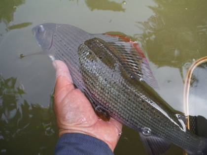A good Lugg grayling from the Lyepole beat.