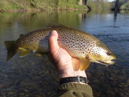 A nice early season wild brown from the Usk Town Water