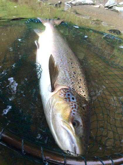 One of the three salmon Tim Hughes caught from the Lower Llanstephan and Llangoed beat on 27th June