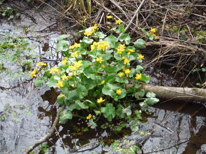 Marsh marigolds on the opening day