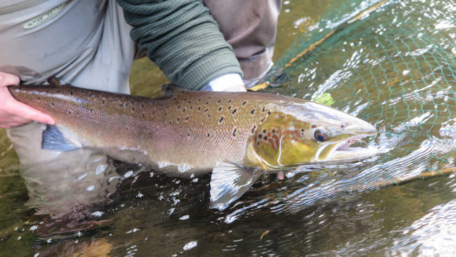 James Beeson's 32inch fish from the Abernant beat on the upper Wye on the 3rd October