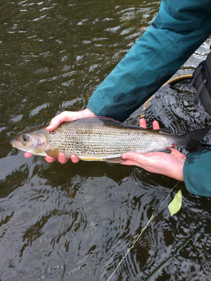 19 inch grayling from the Cammarch Hotel water on the Irfon